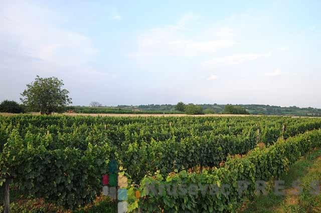U SUSRET SVETOM TRIFUNU: Takmičenje najboljih vinara iz Trstenika i okoline