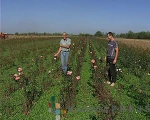 Porodica Jovanović se uzgajanjem ruža bavi više od 60 godina FOTO: S.Babović