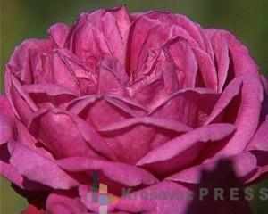 Na svetu postoji više od 30.000 vrsti ruža FOTO: S.Babović