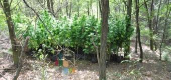 Zaplenjeno 55 paketića sa marihuanom