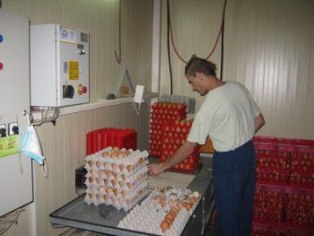 Na farmi u Stalaću godišnje se proizvede od 1,5 do 2 miliona pilića FOTO: S. Milenković