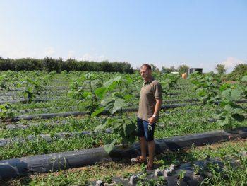 Srđan Bučić na istoj parceli uzgaja paulovniju i jagode FOTO: Princess paulownia