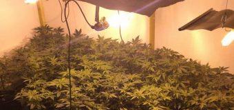 Otkrivene laboratorije za veštačko uzgajanje marihuane