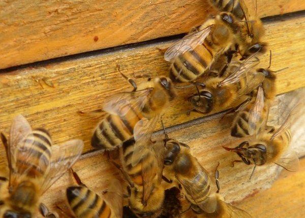 HAPŠENJE: Kruševljanin neovlašćeno proizvodio lekove i preparate za pčele!