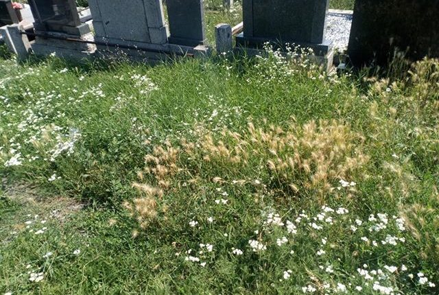 KOMUNALNA PATROLA: Staro groblje zaraslo u travu i korov!